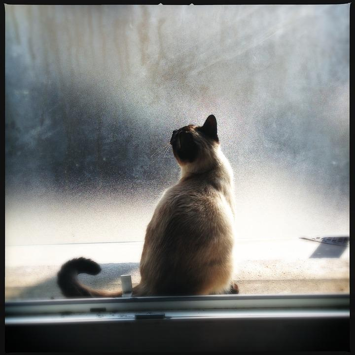 Cat, Window, Light, Pet, Feline, Animal, Siamese