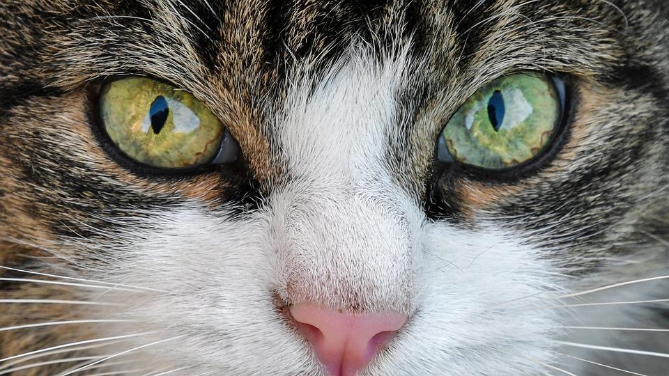 Cat, Look, Eyes, Close Up, Animal, Feline