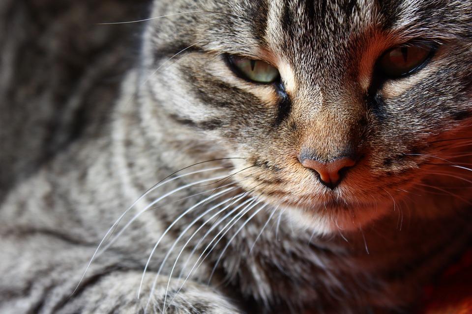 Gata, Cat, Face, Brindle, Feline, Pet, Animals, Mammals