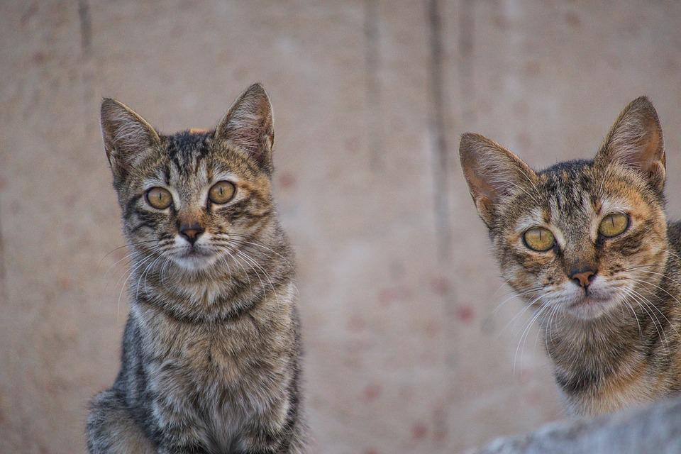 Cats, Mici, Feline, Animal, Puppy, Portrait Of Cat