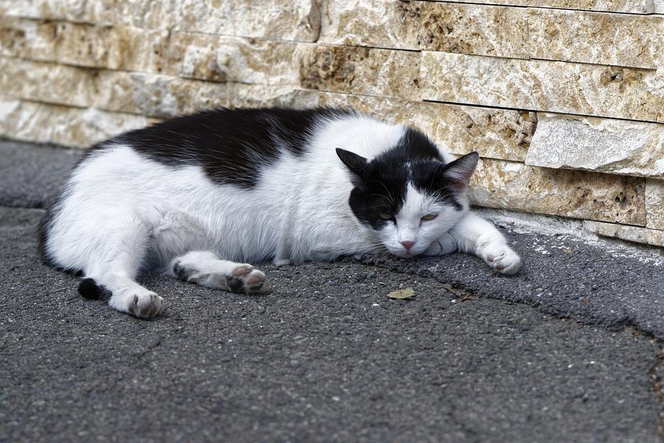 Cat, Pet, Domestic, Feline, Fur, Pete, White, Black