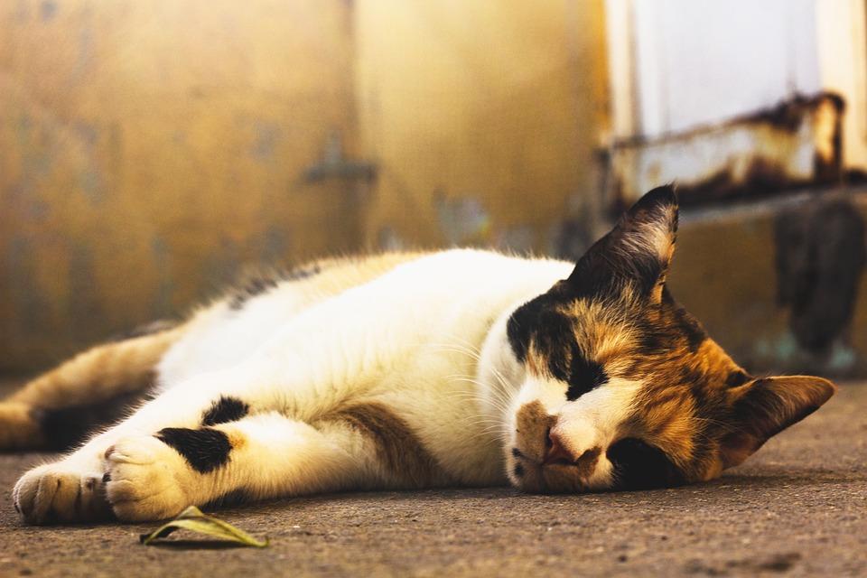 Cat, Feline, Animal, Portrait, Kitten, Skins, Mammal