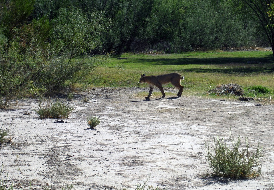 Big Bend, Texas, Landscape, Bobcat, Feline, Wildlife