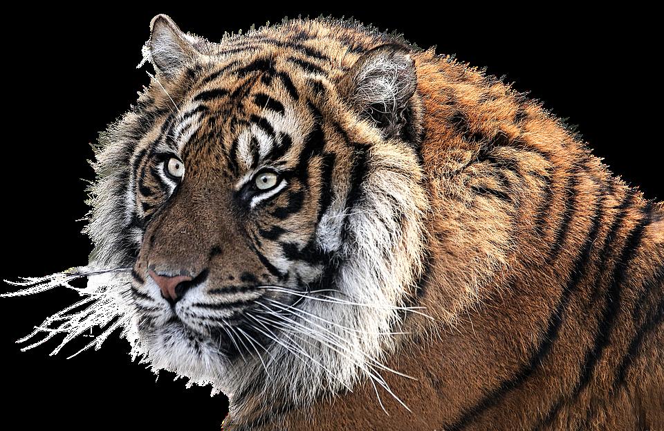 Tiger, Tiger Head, Animal, Feline, Png