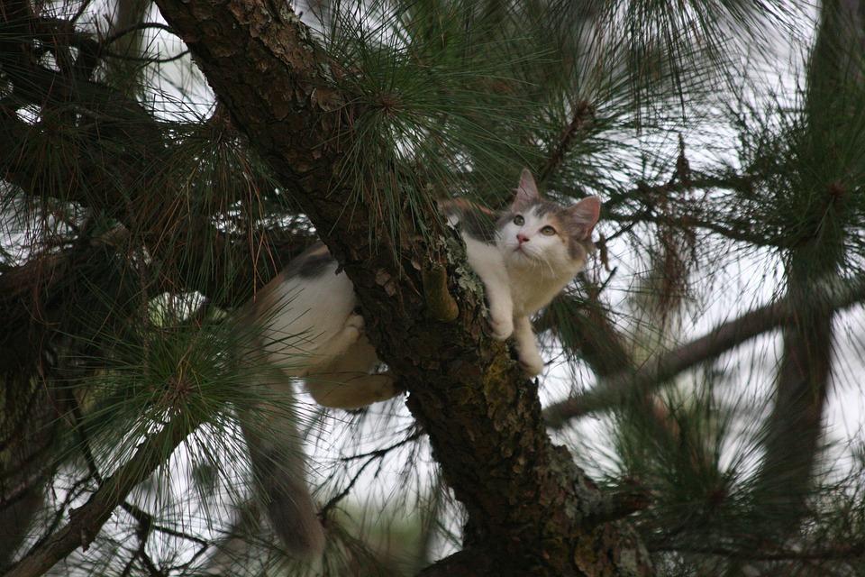 Cat, Animal, Trees, Pet, Conifers, Coniferous, Feline