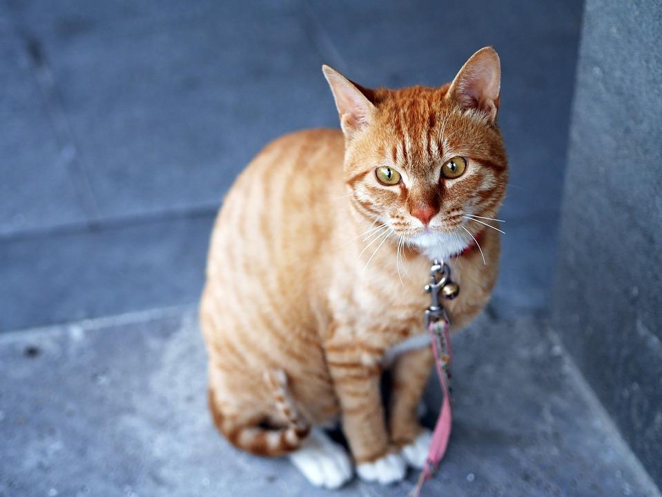 Cat, Feline, Yellow, Sitting, Animal, Pet, Blue Animals