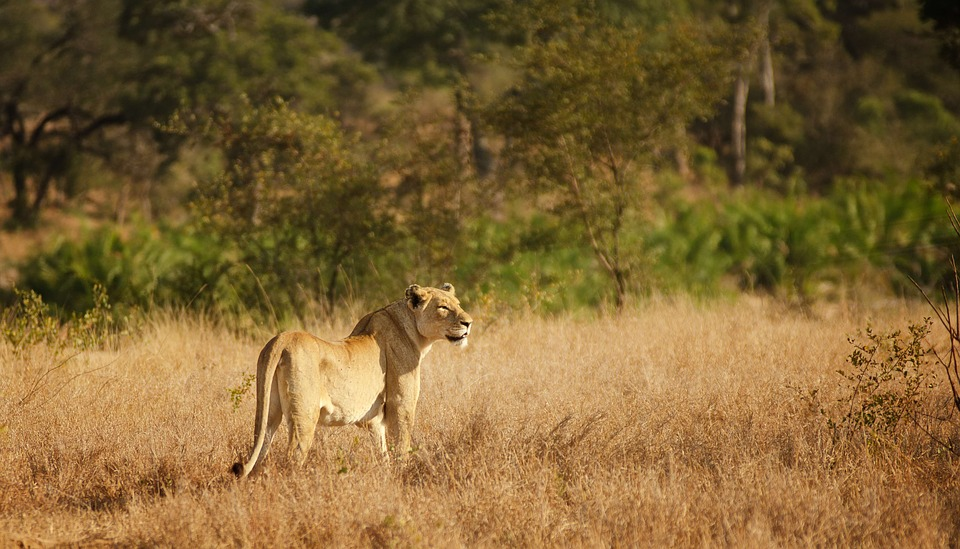 Lioness, Savannah, Bushveld, Female, Hunter, Kruger
