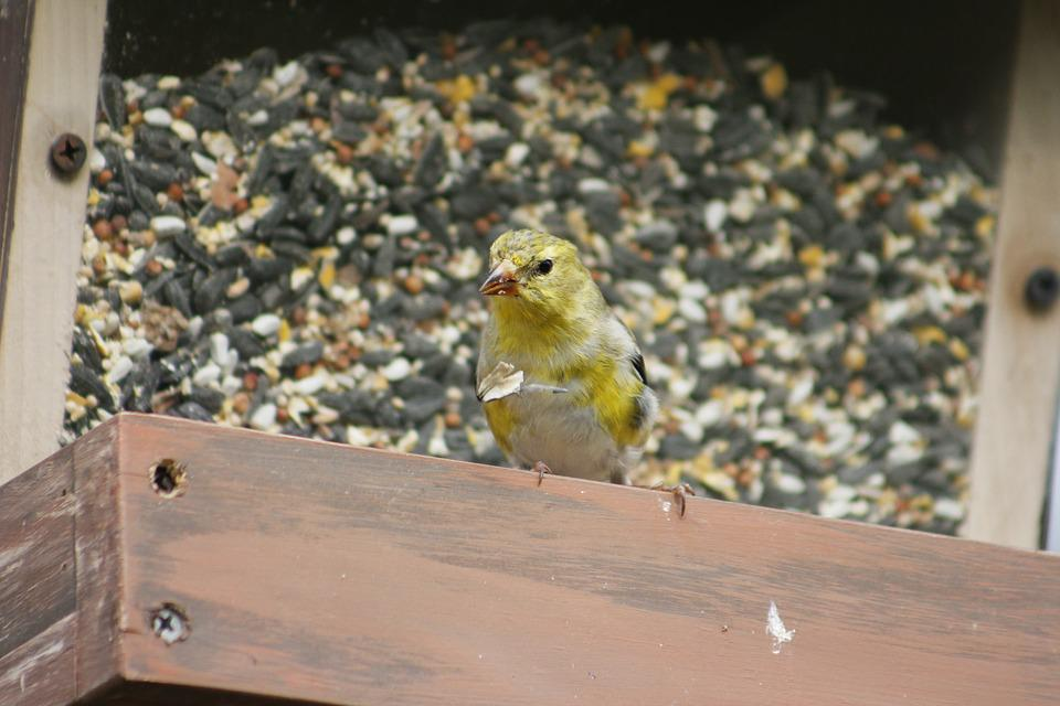 Nature, Outdoors, Bird, Female Gold Finch, Wildlife