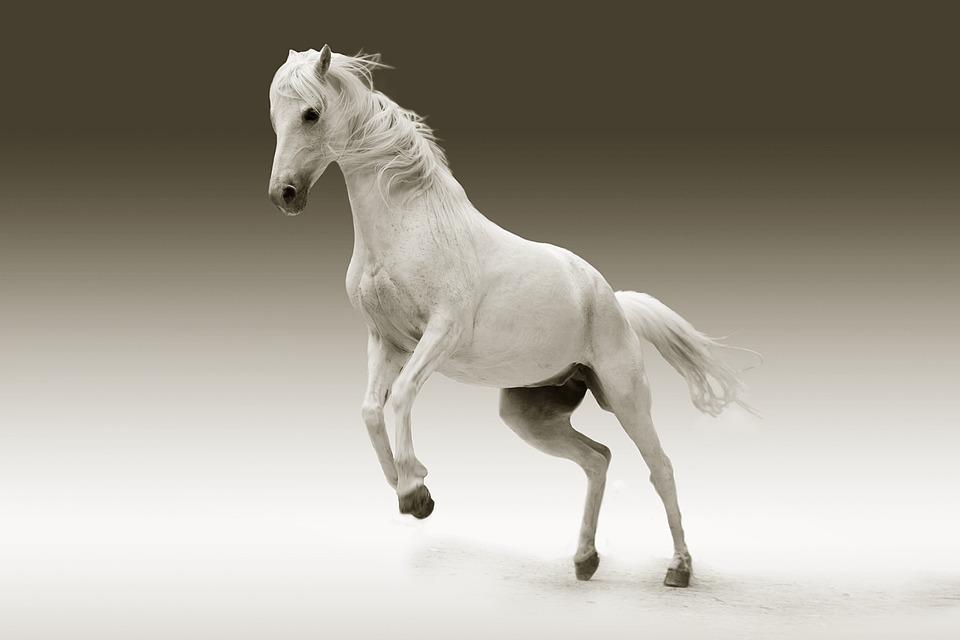 Horse, Mare, Animal, Female Horse, White Horse, Mammal