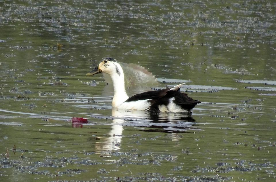 Duck, Bird, Knob-billed Duck, Female