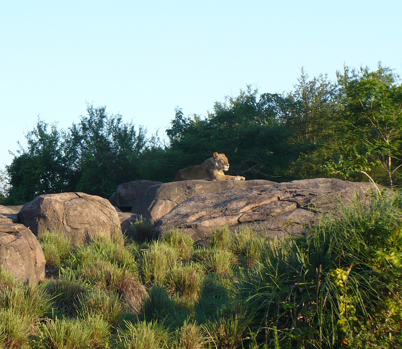 Female Lion, Lion, Rock, Wilderness, Africa, Safari