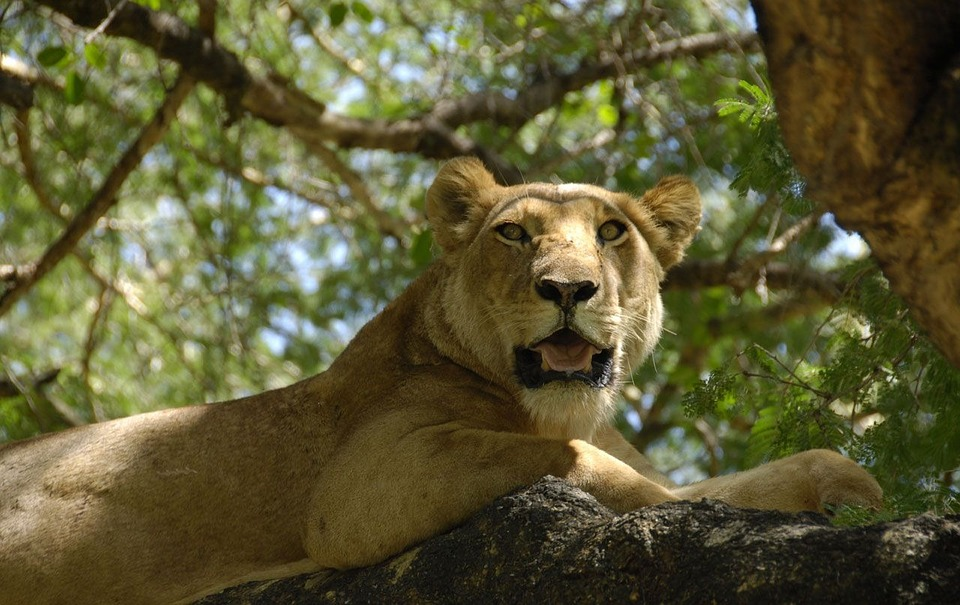 Female, Lion, Lioness, Sitting, Tree Branch, Trees