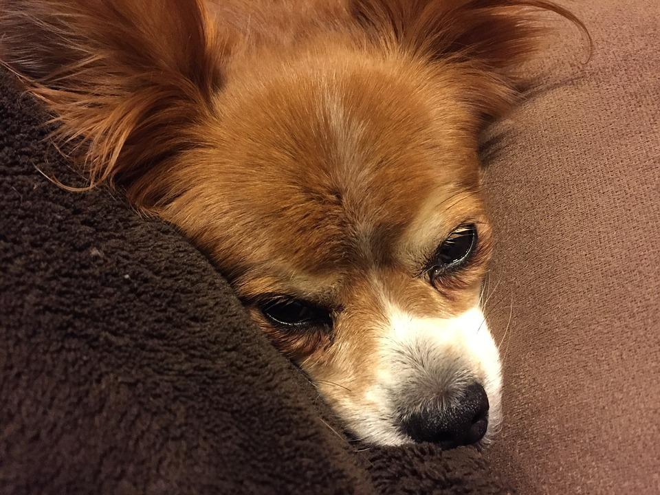 Papillon, Dog, Female, Serendipity, Adorable, Purebred