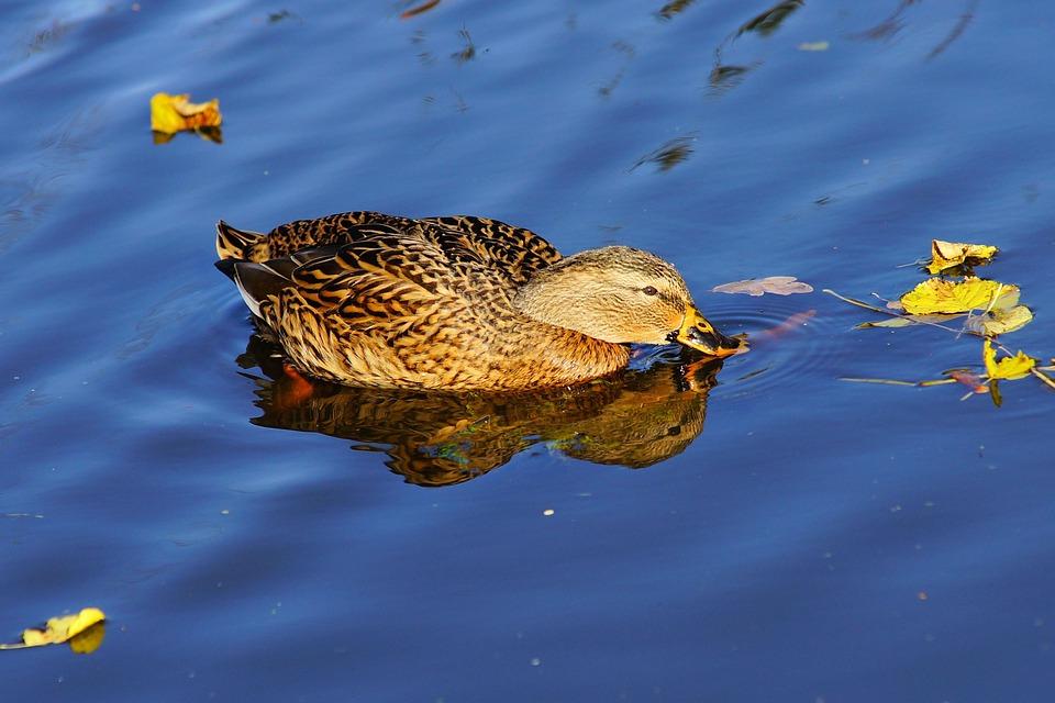 Duck, Female, Bird, Animal, Plumage, Elegant, Nature