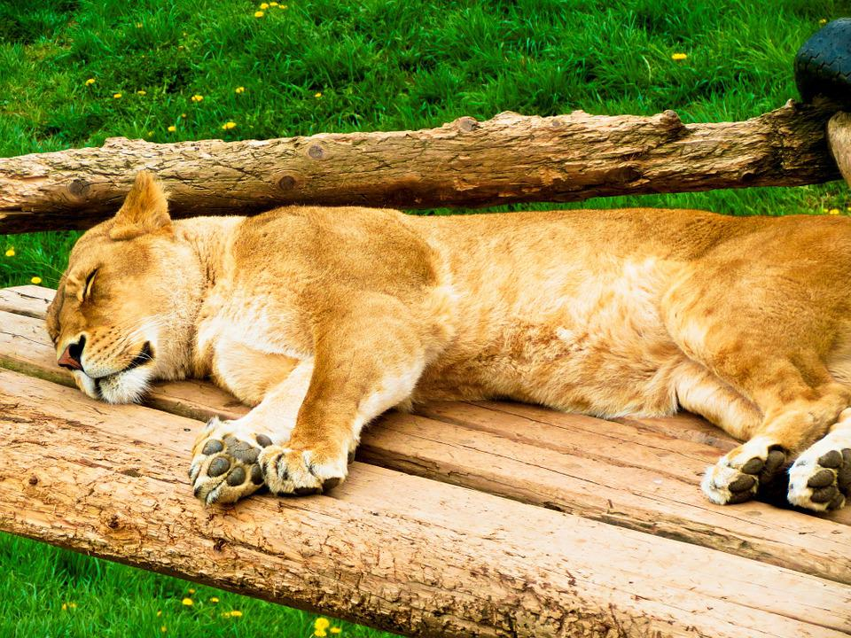 Lion, Female, Resting, Wildlife