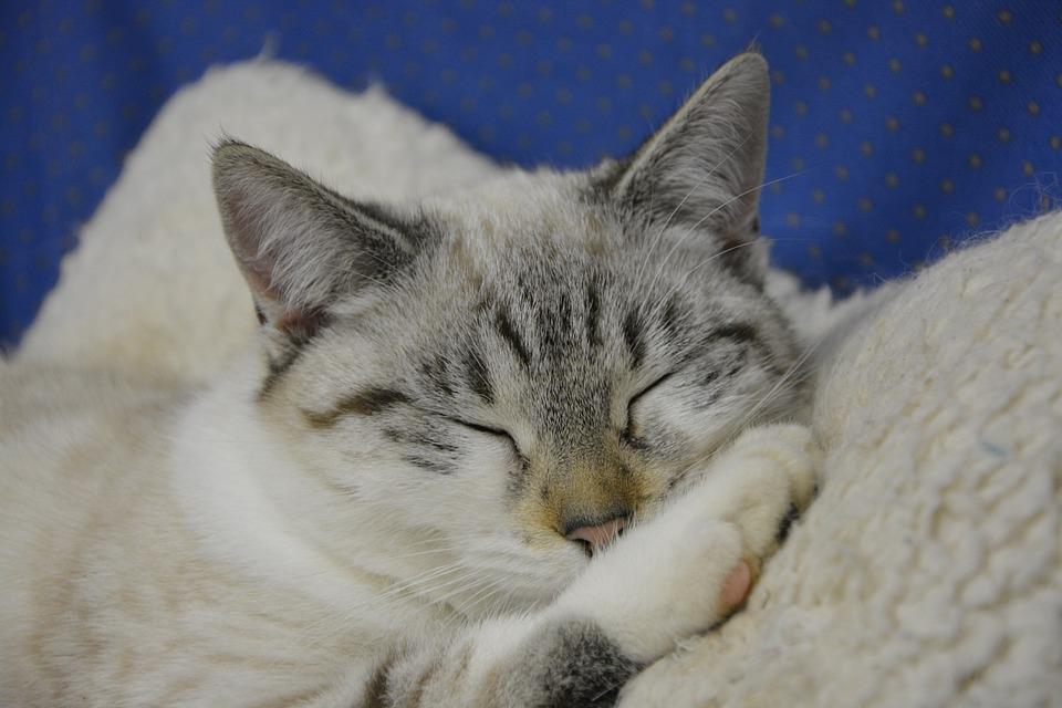 Cat, Cat Sleeping, Head Cat, Female Young Cat