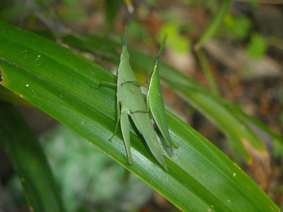 Grasshopper, Green, Males, Females, Mating, Leaf