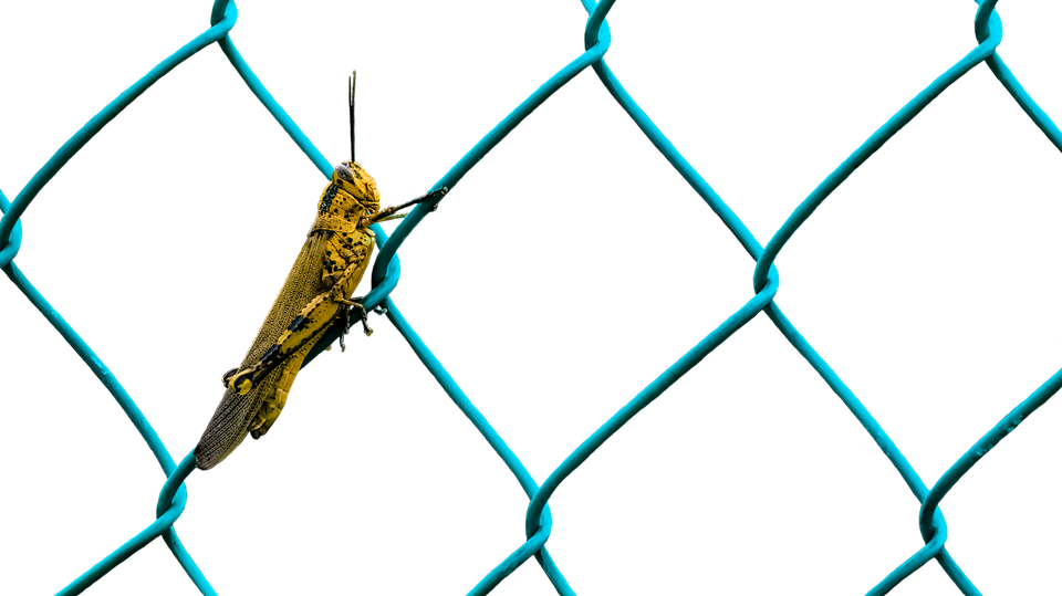 Grasshopper, Animals, Insect, Fence, Wire, Isolated
