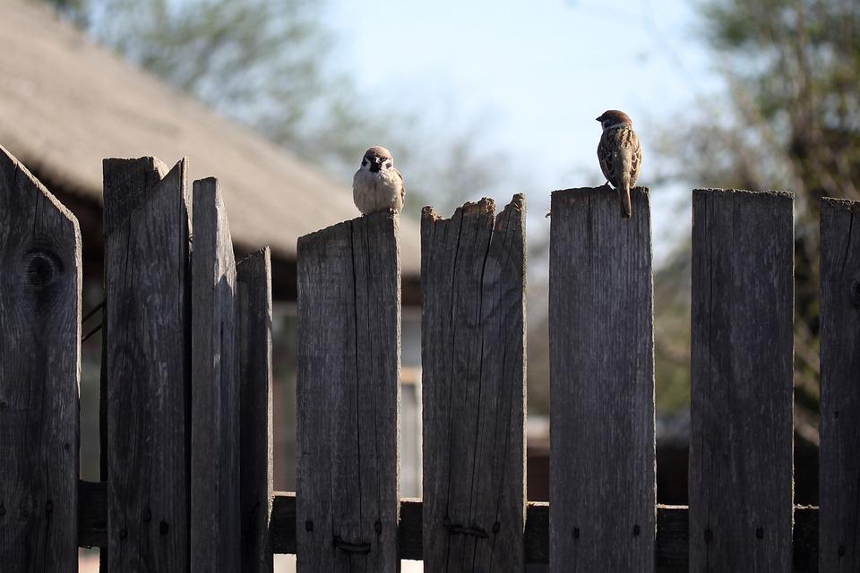 Sparrow, Pair, Fence, Birds