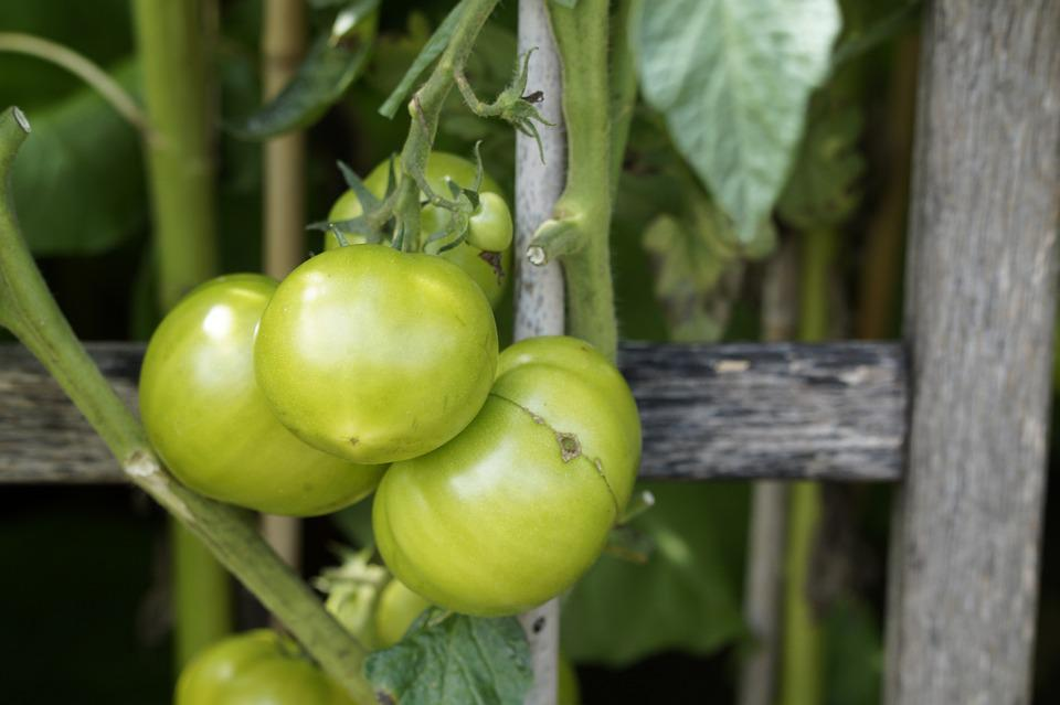 Tomatoes, Fence, Wood, Vegetable Growing, Cultivation