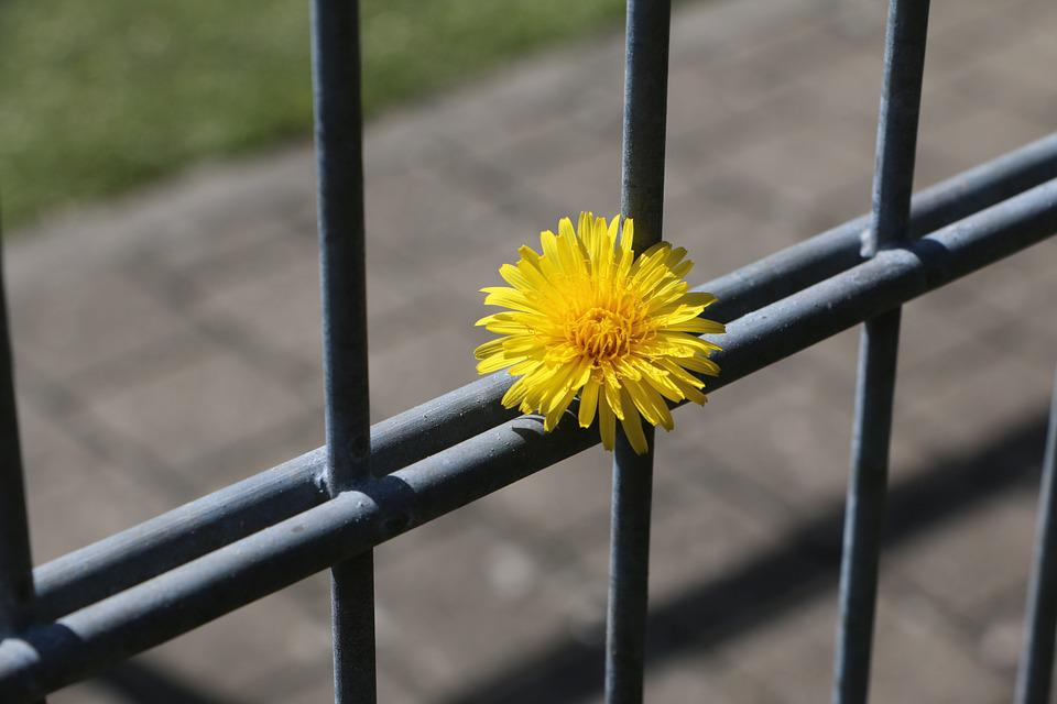 Fence, Dandelion, Completed, Included, Kept In Custody