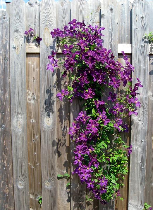 Clematis, Purple, Flowers, Bloom, Flower, Fence