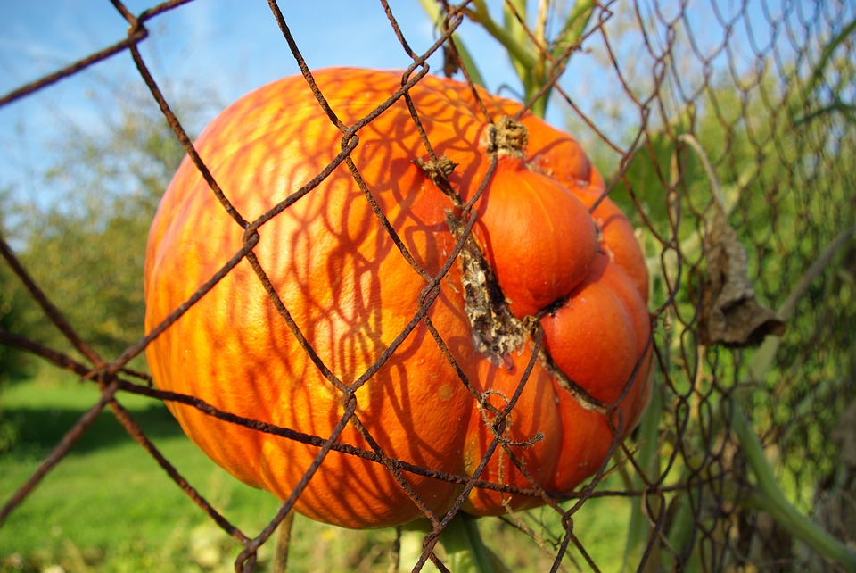 Pumpkin, Halloween, Fence