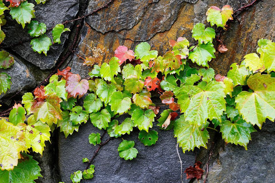 Ivy, Wall, Stone Wall, Fence, Plants, The Leaves
