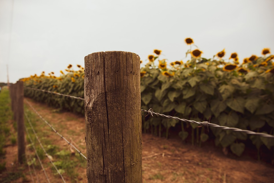 Farm, Barbed Wire, Sunflowers, Fence, Wire, Border