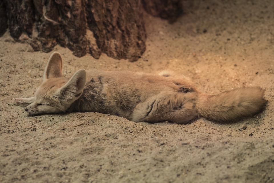 Fennec Fox, Zoo, Chilling, Sleeping, Dessert, Animal