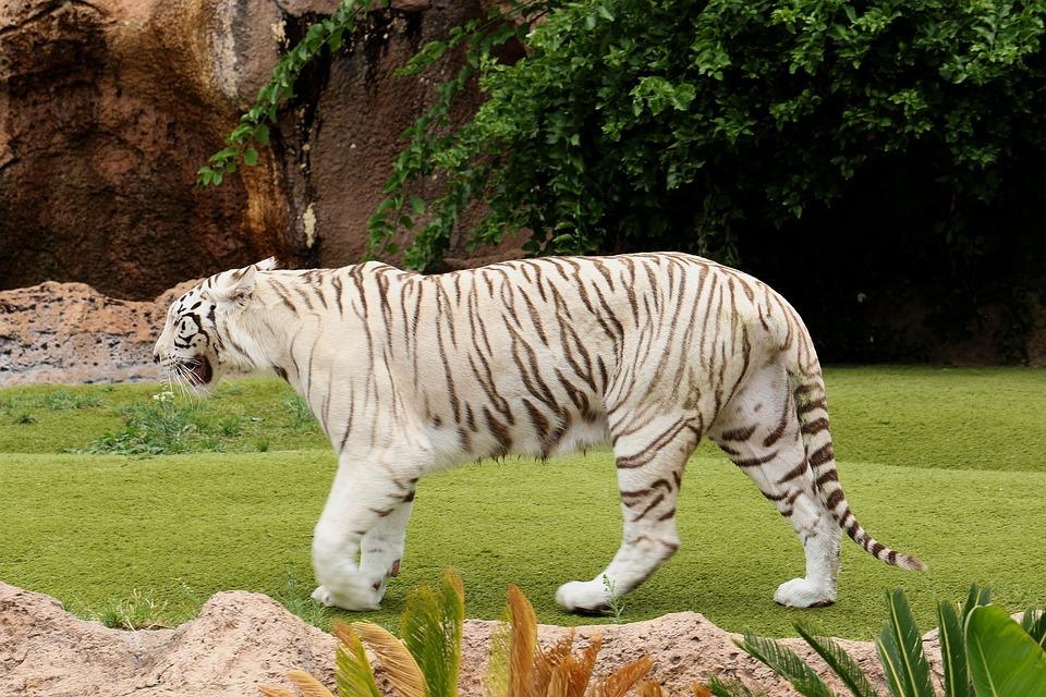 Tiger, White Tiger, Feral Cat, Predator, Animal