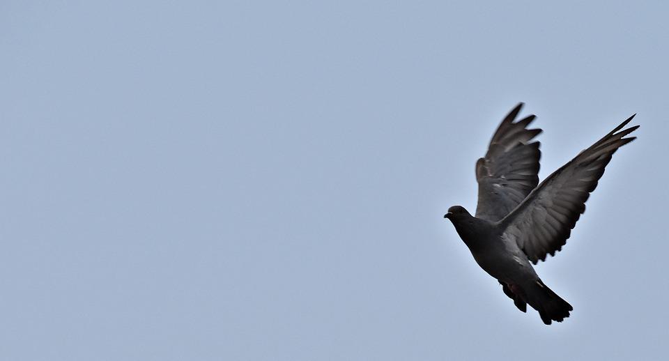 Feral Pigeon, Flight, Bird, Wings