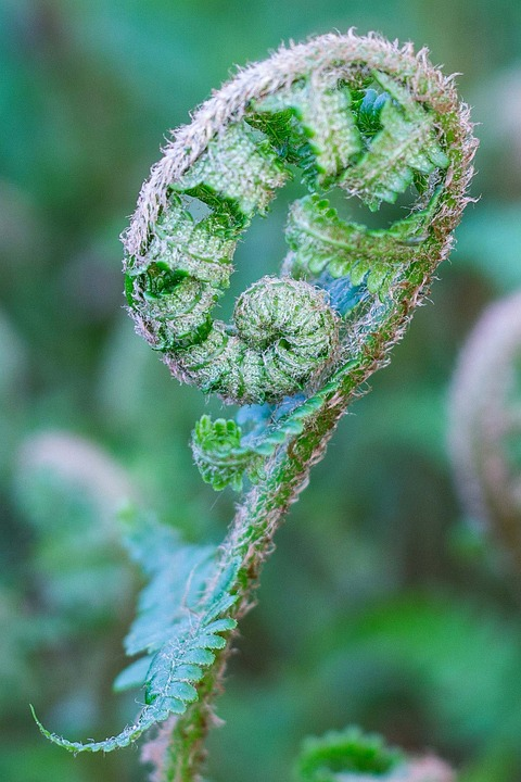 Fern, Athyrium Filix-femina