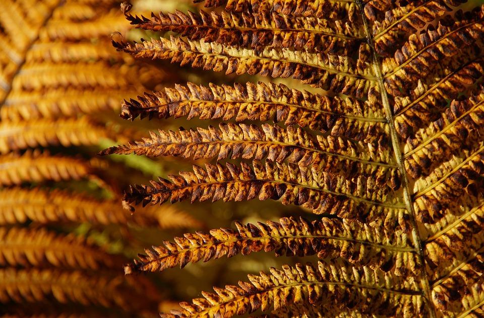 Fern, Autumn, Brown, Beautiful, Brownish, Close Up