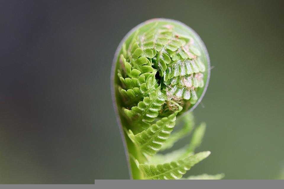 Fern, Sprout, Plant, Fiddlehead, Unfold, Unroll, Growth