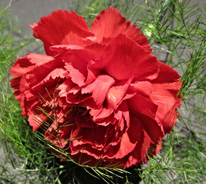 Red Carnation, Fern, Garden, Flower