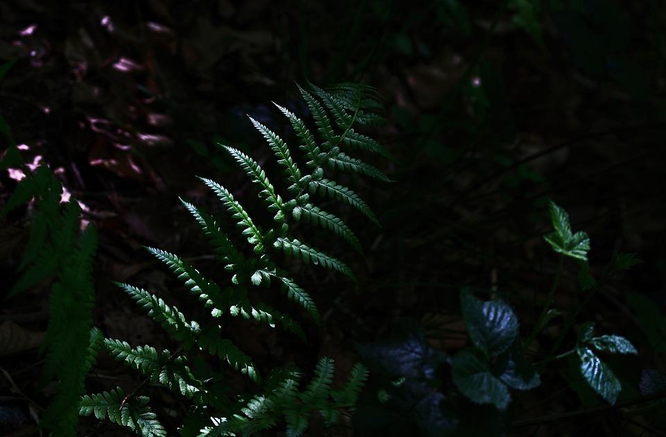 Fern, Plant, Growth, Foliage, Woodland, Forest