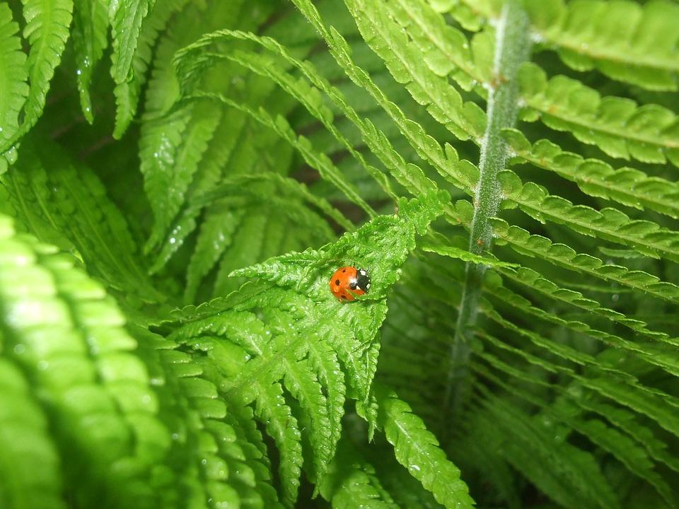Ladybug, Fern, Nature, Leaves, Green