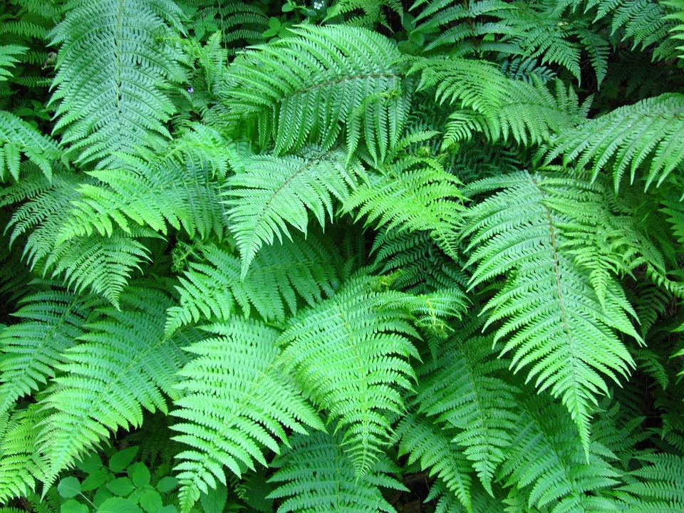 Fern, Plant, Green, Filigree