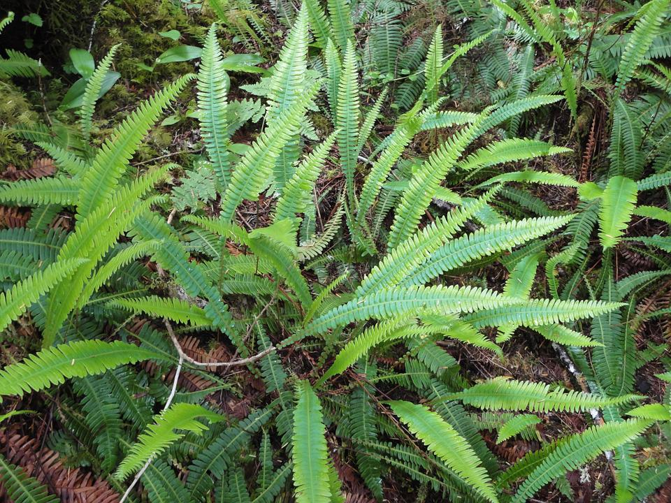Fern, Plant, Native