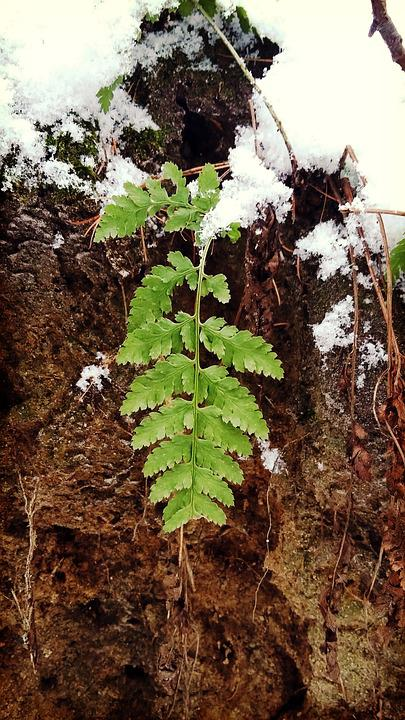 Forest, Winter, Snow, Poland, Rumia, Fern, Polypody