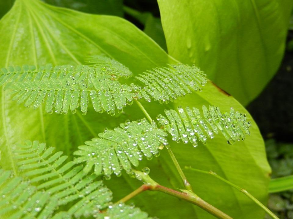 Polypody, Fern, Foliage, Leaf, A Drop Of, Drops, Rosa