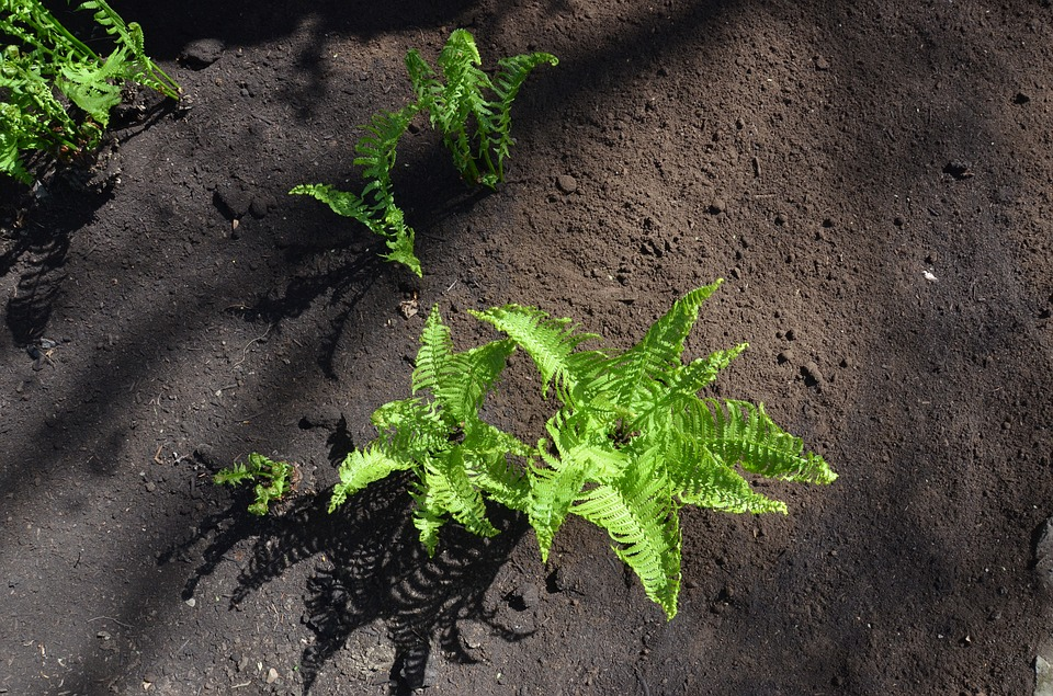 Ground, Soil, Outdoor, Outside, Nature, Fern, Green