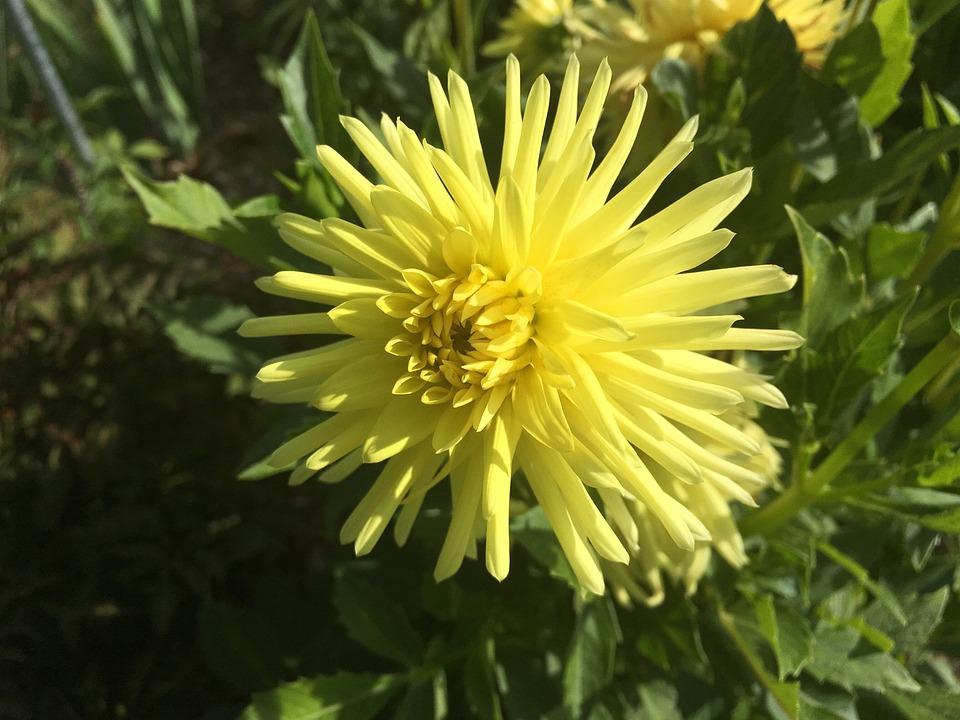 Dahlia, Cactus Form, Ferncliff Sunburst, Yellow