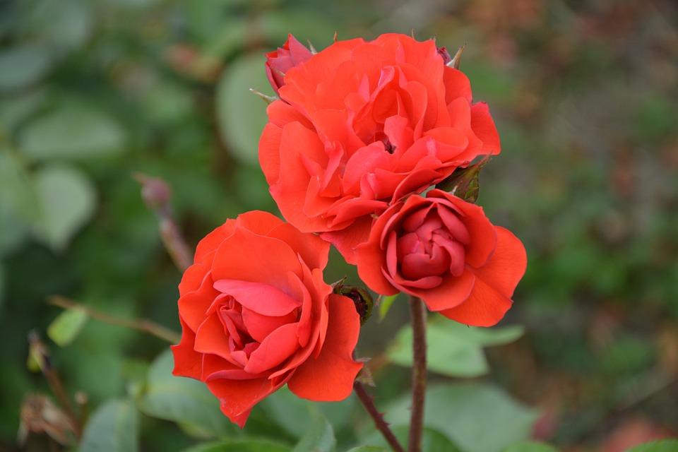 Red Rose, Bouquet, Flower, Love, Birthday, Festival