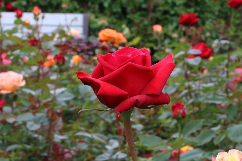 Free photo festival rose festival rose pretty flowers max pixel rose festival rose festival pretty flowers mightylinksfo