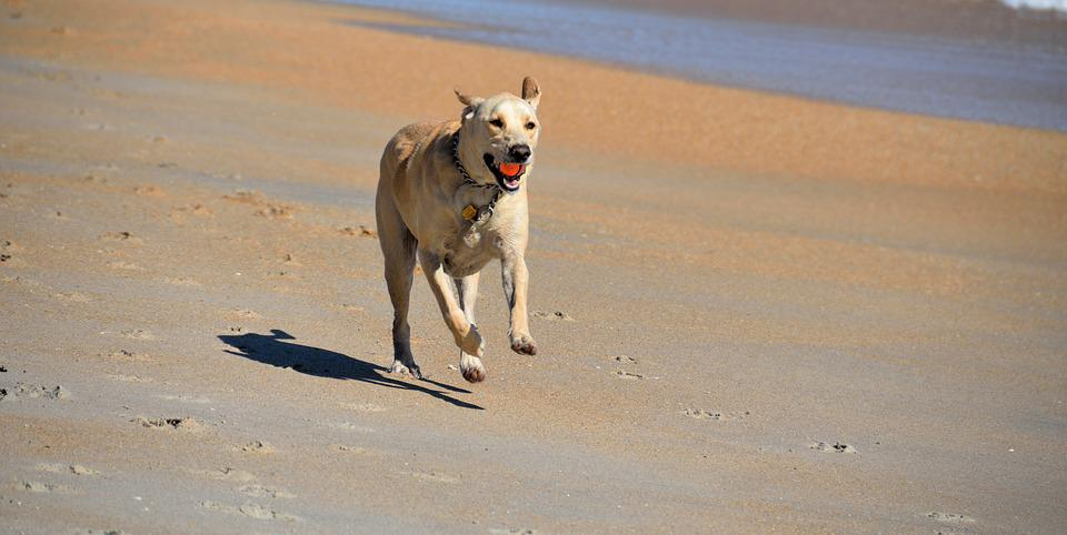 Dog, Fetching Ball, Beach, Pet, Animal, Running, Active