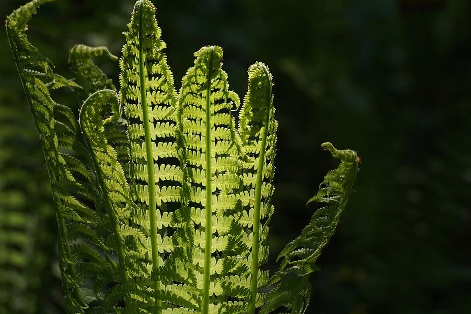 Fern, Fiddlehead, Vessel Sporenpflanze, Green, Plant
