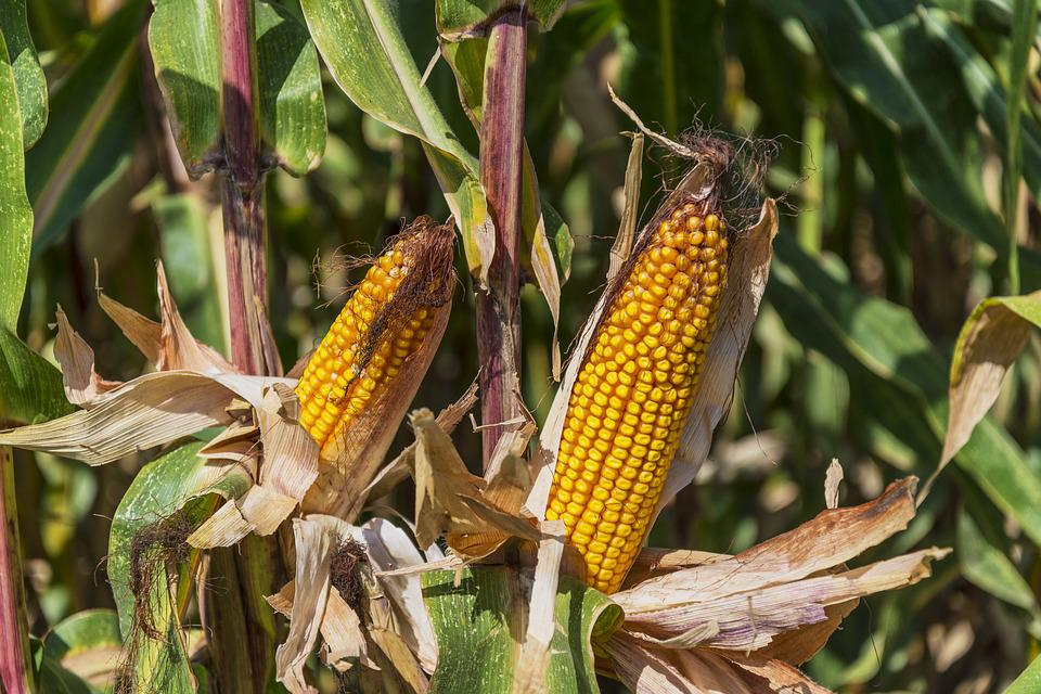 Corn, Field, Agriculture, Cereals, Cobs, Farmer