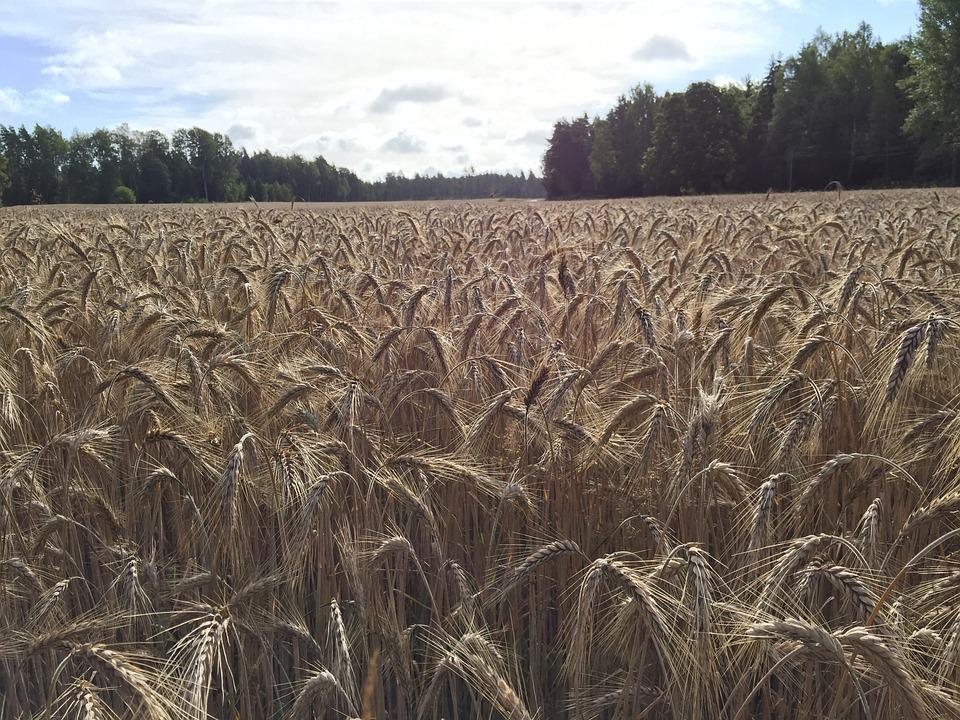 Triticale, Seed, Agriculture, Crop, Nature, Field